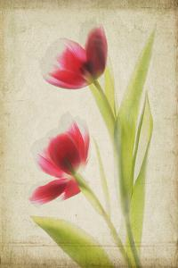Red Tulips V by Judy Stalus