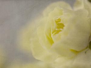 Rose Whisper II by Judy Stalus