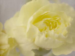 Rose Whisper III by Judy Stalus