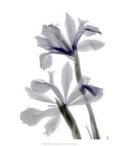 Xray Iris by Judy Stalus