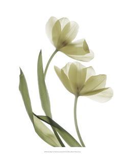 Xray Tulip I by Judy Stalus