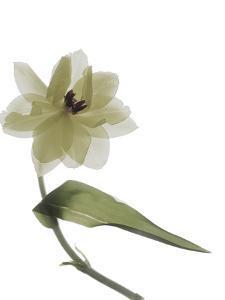 Xray Tulip II by Judy Stalus