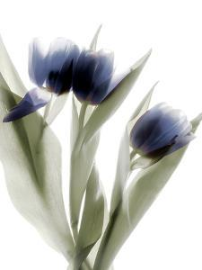 Xray Tulip IV by Judy Stalus