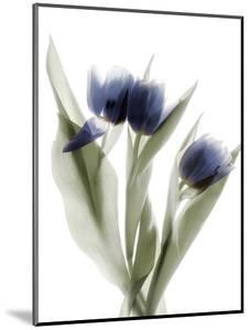 Xray Tulip IX by Judy Stalus