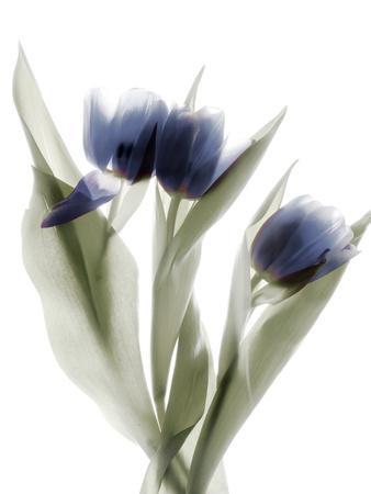 Xray Tulip IX