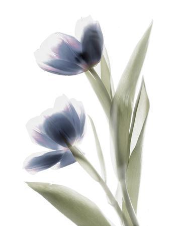 Xray Tulip V