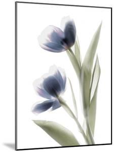 Xray Tulip V by Judy Stalus