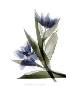 Xray Tulip VI by Judy Stalus