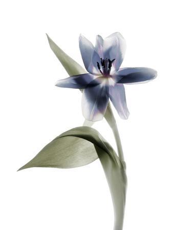 Xray Tulip VII