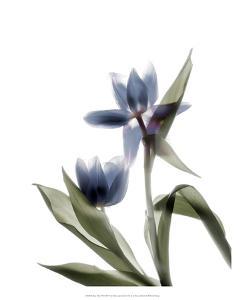 Xray Tulip VIII by Judy Stalus