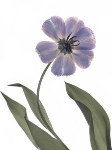 Xray Tulip X by Judy Stalus