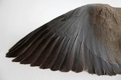 Dove Wing