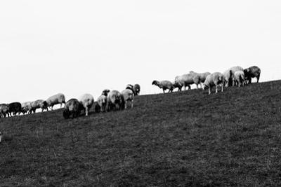 Meadow, sheep by Jule Leibnitz