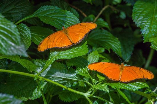 Julia Butterflies (Dryas iulia) perching on leaves, Niagara Parks Butterfly Conservatory, Niagar...--Photographic Print