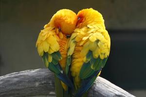 Pair Lovebirds by Julia Kuznetsova