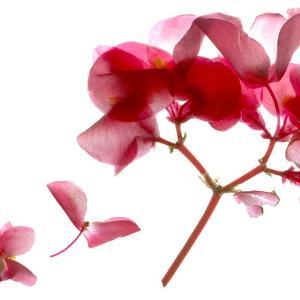 Begonia Pink VII by Julia McLemore