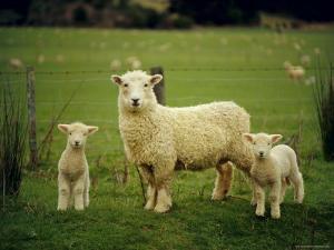 Ewe and Twin Lambs on Sheep Farm, Marlborough, South Island, New Zealand by Julia Thorne