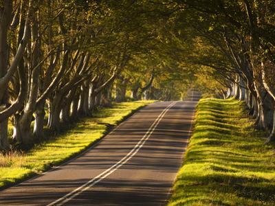 The Winding Road Through the Beech Avenue at Kingston Lacy, Dorset, England, United Kingdom, Europe by Julian Elliott