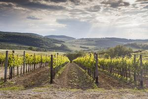 Vineyards Near to Montepulciano, Val D'Orcia, UNESCO World Heritage Site, Tuscany, Italy, Europe by Julian Elliott