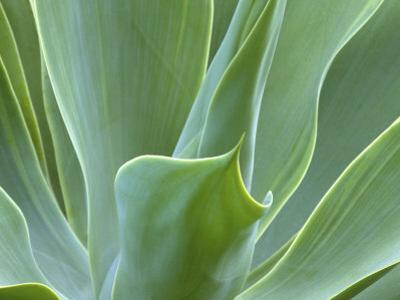 Agave Plant, Maui, Hawaii, USA