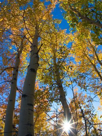 Aspen Trees with Sunlight Coming Through, Alaska, USA by Julie Eggers