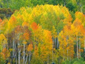 Autumn Aspens in Kebler Pass, Colorado, USA by Julie Eggers