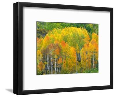 Autumn Aspens in Kebler Pass, Colorado, USA