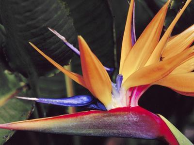 Bird of Paradise, Maui, Hawaii, USA