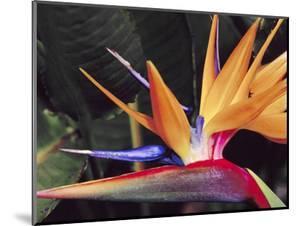 Bird of Paradise, Maui, Hawaii, USA by Julie Eggers