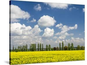 Czech Republic. Canola field and tree line. by Julie Eggers