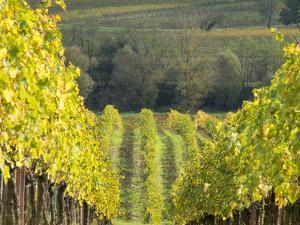Europe, Italy, Tuscany. Rolling Hills of Vineyard in Autumn Colors by Julie Eggers