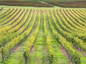 Europe, Italy, Tuscany. Vineyard in Autumn in Tuscany by Julie Eggers