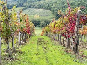 Europe, Italy, Tuscany. Vineyard in the Chianti Region of Tuscany by Julie Eggers