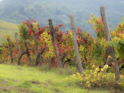 Europe, Italy, Tuscany. Vineyard in the Chianti Region of Tuscany