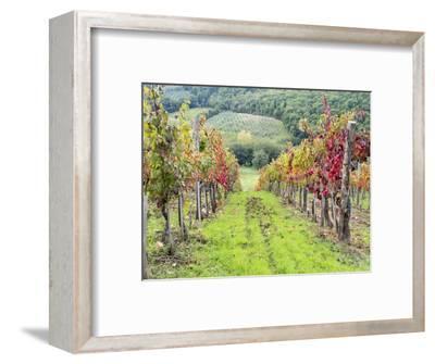 Europe, Italy, Tuscany. Vineyard in the Chianti Region of Tuscany