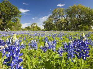 Field of Texas Bluebonnets and Oak Trees, Texas Hill Country, Usa by Julie Eggers