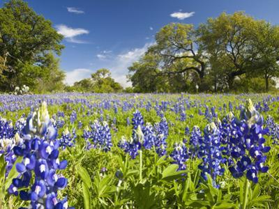 Field of Texas Bluebonnets and Oak Trees, Texas Hill Country, Usa