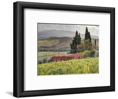 Italy, Tuscany. Autumn Ivy Covering a Building in a Vineyard