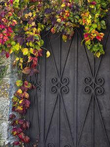 Italy, Tuscany, Contignano. Door Surrounded by Fall Colored Ivy by Julie Eggers