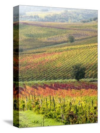 Italy, Tuscany, Val Dorcia. Colorful Vineyards and Olive Trees in Fall