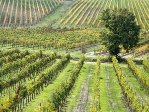 Italy, Tuscany, Val Dorcia. Colorful Vineyards in Autumn by Julie Eggers