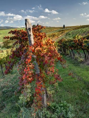 Italy, Tuscany. Vineyard in Autumn in the Chianti Region of Tuscany by Julie Eggers