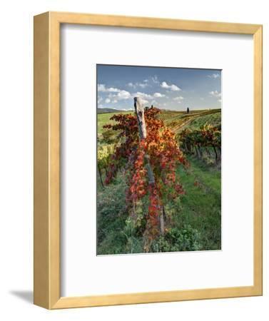 Italy, Tuscany. Vineyard in Autumn in the Chianti Region of Tuscany