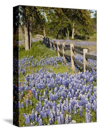 Lone Oak Tree Along Fence Line With Spring Bluebonnets, Texas, USA