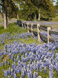Lone Oak Tree Along Fence Line With Spring Bluebonnets, Texas, USA by Julie Eggers