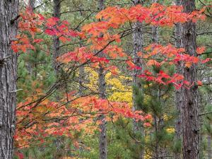 Michigan, Upper Peninsula. Fall Foliage and Pine Trees in the Forest by Julie Eggers