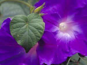 Morning Glory Vine, Maui, Hawaii, USA by Julie Eggers