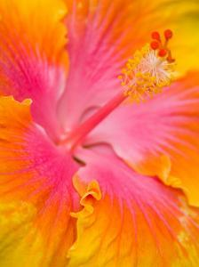 Pink and Yellow Hibiscus, San Francisco, California, USA by Julie Eggers