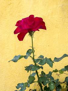 Portugal, Obidos. Red rose growing against a bright yellow painted home. by Julie Eggers
