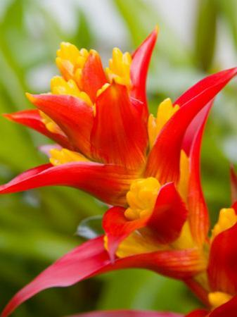 Red and Yellow Bromeliad, San Francisco, California, USA by Julie Eggers